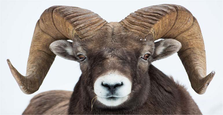 picture of a ram's head