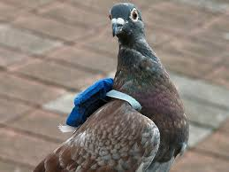 A Messenger pigeon with his backpack | Homing pigeons, Pigeon, Pigeon bird